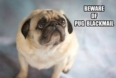 25 HILARIOUS Pug Memes