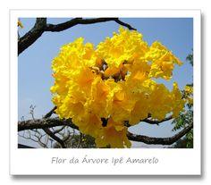 Flor do Ypê Amarelo - Brasil