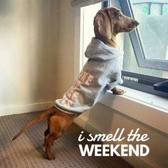 """52 Likes, 2 Comments - #dachshund Quotes & Pictures (@mydachshundfamily) on Instagram: """"Yeah it's here... . @mylatheminidachshund"""""""