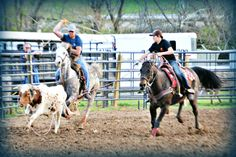 Team Roping by Burcham's Mini Blessings in Fries, VA