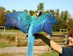 blue-and-gold-macaw-0031.jpg