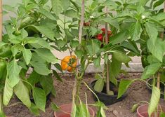 9)  Paprika's kweken | sjeftuintips Flower Garden, Growing Fruit, Herbs, Plants, Natural Garden, Garden, Growing, Growing Herbs, Veggie Garden
