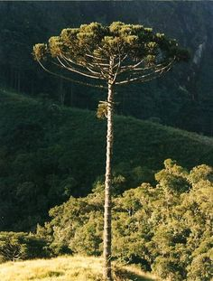 Rio Grande Do Sul, Tree Forest, Secret Life, Trees To Plant, Planting Flowers, Outdoor Living, Tree Tattoos, Earth, Plants