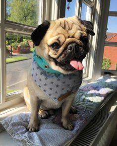 Looks like it's going to be a lovely day #pug #pugs #pugsofinstagram #pugbasement #pugsproud_feature #badasspugclub #bubblebeccahat #cupcake_pug #dailydoseofpugs #eddthepug #flatnosedogsociety #gilesfriends #heyportiapickme #henrys1inamillion #itslolathepug #lolasfotw #lacyandpaws #mysquishyliciousfriends #puglife #speakpug #squishyfacecrew #thetomcoteshow #zerozeropug by alfiethepug_beat