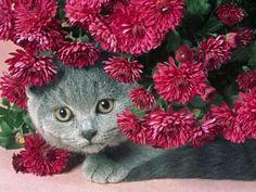 Très belle photo d'un Chat gris entouré de chrysanthèmes rose foncé