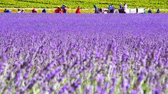 Gardening Advice Everyone Must Be Aware Of – Greenhouse Design Ideas Lavender Benefits, Growing Lavender, Lavender Fields, Free Travel, Backyard Landscaping, Outdoor Gardens, Places To Travel, South Africa, Cool Pictures