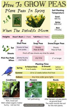 Flower Gardening For Beginners Beginner garden tips for growing snow, snap, shell, and sugar peas in the home garden. - Easy to grow, and delicious fresh or cooked! There are so many types of peas to grow in your garden. And the flowers are beautiful too! Gardening For Beginners, Gardening Tips, Permaculture, Growing Peas, Bokashi, Plantar, My Secret Garden, Edible Garden, Growing Vegetables