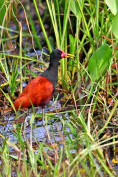 Wattled Jacana in the Pantanal Wetlands of Brazil by Peter Wallack Different Birds, Kinds Of Birds, All Birds, Birds Of Prey, Love Birds, Pretty Birds, Beautiful Birds, Animals Beautiful, Bird Identification