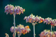 Succulent Flower Pods | par NevilleNel