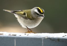 Golden-Crowned Kinglet: Golden-Crowned Kinglet - just came within four feet of one - October 2016 - corner of West Hills Drive and Cascade Way in Longview. Tiny Bird, Small Birds, List Of Birds, Golden Crown, Golden Hair, Wood Owls, Bird Poster, Bird Gif, Backyard Birds