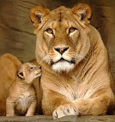 Lion and her cub ~ majestic and tender.
