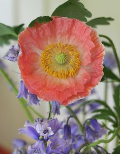 coral falling in love poppy