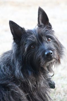 Amos, my sweet black Cairn Terrier.We lost this precious baby boy too soon to a cancerous tumor.  This picture was taken only a couple of weeks before we lost him.  He was only 7 years old.