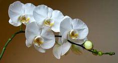 Doğru Orkide Bakımı İle Büyülü Çiçekler Açtırın - ElitFeminen