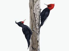 Flora And Fauna, Illustrations And Posters, Animals Beautiful, Book Art, Birds, Drawings, Artwork, Woodpeckers, Tattoos