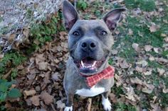 SAID ABOUT PAPA - A1095470 -MURDERED💔💔💔  - Manhattan Please Share:TO BE DESTROYED 11/06/16 **ON PUBLIC LIST** A volunteer writes (as told by Papa): Hey – my name is Papa…..I'm told I'm a gorgeous brindle boy (blush, but it's true), my weight is good, my new friend volunteer loves my white socks on my front paws, and she just laughed with me a lot. We had fun! I was a little nervous leaving my kennel at first as I didn't know her, but she was gentle and talked