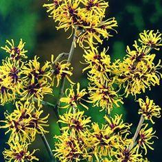 WINTER FLOWERING Hamamelis mollis -Chinese witch hazel/Varázsmogyoró