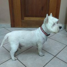 Orfeas Westie old! Highlands Terrier, West Highland Terrier, West Highland White, White Terrier, Westies, Dogs, Animals, Animales, Animaux