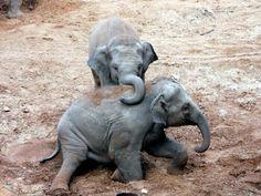 Baby Elephants Playing