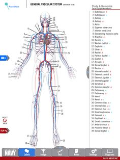 Diagram of the General Vascular System from the free Anatomy Study Guide app by America's Navy. Includes high-res 3-D diagrams! | #navy #usnavy #americasnavy navy.com