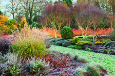 Adrian Bloom Winter Garden   Cornus sanguinea 'Midwinter Fire', grasses, conifers, birches