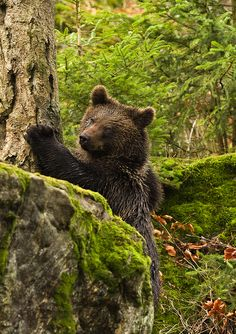 Brown Bear in Neuschonau within the Bavarian Forest National Park