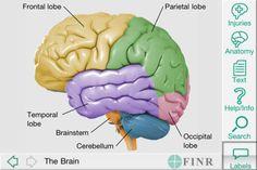 Image result for brain atlas lobes