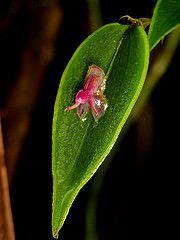 Lepanthes meniscophora
