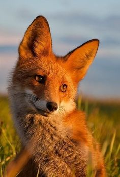 Fox is also my spirit animal? Animals And Pets, Baby Animals, Cute Animals, Beautiful Creatures, Animals Beautiful, Fuchs Baby, Wolf Hybrid, Fantastic Fox, Amazing
