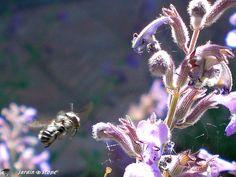 L'indispensable abeille en plein travail de pollinisation
