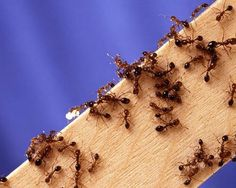 In the port of Tokyo have found one of the most dangerous species of ants Summer House Garden, Home And Garden, Ant Problem, Ant Colony, Types Of Fire, Small Farm, Cool Plants, Pest Control, Mother Earth