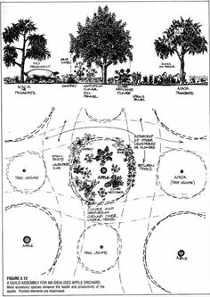 A permaculture guild describes a collection of plants (a polyculture) that indiv. A permaculture g Permaculture Design, Permaculture Principles, Permaculture Garden, Landscape Design, Garden Design, Forest Garden, Farm Gardens, Veggie Gardens, Companion Planting