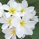 Dwarf/ Semi-dwarf frangipanis. Back garden.