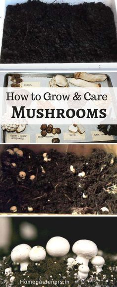Container Gardening For Beginners How to Grow and Care for Mushrooms easily Growing Mushrooms At Home, Garden Mushrooms, Edible Mushrooms, Stuffed Mushrooms, Mushroom Spores, Mushroom Cultivation, Gardening For Beginners, Gardening Tips, Grow Organic