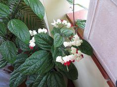 Lágrima de Cristo em sua 1a florada rumo ao teto - 1st flowers up to the roof