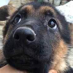 "German Shepherd (?) - ""I Didn't Do Anything, Mom!"""