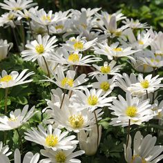 White Splendour Anemone | Order Anemone Bulbs online | Bulbs Direct White Plants, Fall Plants, Garden Plants, Mixed Border, Blue Poppy, Spring Bulbs, Planting Bulbs, Bulb Flowers, Spring Garden