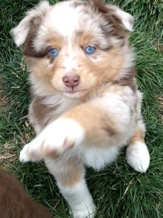 My new mini Aussie puppy Peaches! I pick her up this week