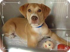 Marietta, GA - Hound (Unknown Type) Mix. Meet COPPER, a puppy for adoption. http://www.adoptapet.com/pet/12977450-marietta-georgia-hound-unknown-type-mix