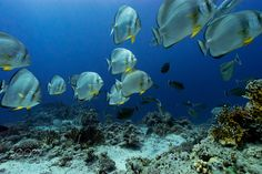 batfish school around me by pierluigileggeri100 #nature #photooftheday #amazing #picoftheday #sea #underwater
