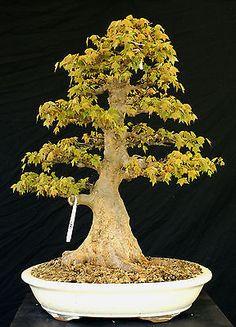 Maple bonsai