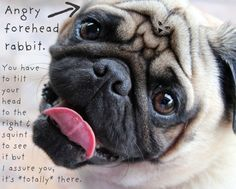 fantastic pugs - Google Search