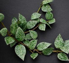 Hoya khoniana Eskimo Hoya grow care advice: https://www.houseplant411.com/houseplant/hoya-plant-how-to-grow-care-tips