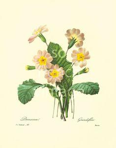 Primrose Primula Vintage Botanical print Redoute French Wall