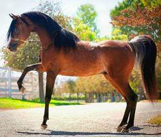 Straight Egyptian Arabian stallion, Sayo Sahran SMF. photo: Jennifer Ogden.