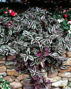 1000 images about lambari roxo on pinterest wandering for Tradescantia zebrina