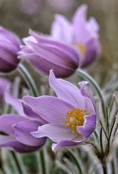 ✯ Manitoba's provinicial flower - the Prairie Crocus. Just a gorgeous shade of purple. Exotic Flowers, Amazing Flowers, My Flower, Purple Flowers, Wild Flowers, Beautiful Flowers, Flower Power, Cactus Flower, Beautiful Gorgeous