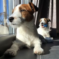 I Love Dogs, Cute Dogs, Parsons Terrier, Jack Russell Puppies, Parson Russell Terrier, Jack Russells, Cute Creatures, Cool Pets, Dog Quotes