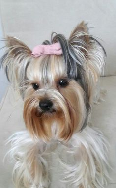 The Popular Pet and Lap Dog: Yorkshire Terrier - Champion Dogs Yorkies, Yorkie Puppy, Biewer Yorkie, Yorkshire Terrier Haircut, Yorkshire Terrier Puppies, Raza Yorkshire, I Love Dogs, Cute Dogs, Yorshire Terrier