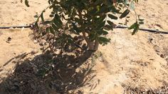 Sewage effluent fights desertification in Egypt-  A forestry project in Egypt is using sewage effluent to nurture tree plantations in the desert, preventing desertification. The method has been so effective that it's attracted the interest of German forestry companies...